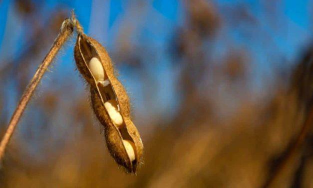 Safra 2019/20 de soja tem crescimento na área 2,6%