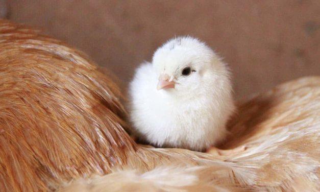 Zoetis lança plataforma totalmente dedicada à avicultura