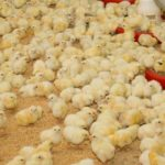 Probióticos são alternativas para disbiose intestinal em aves de corte