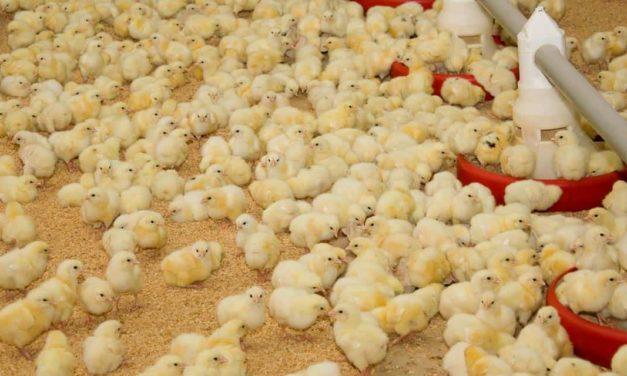 Probióticos podem ser uma alternativa para o tratamento de disbiose intestinal em aves de corte