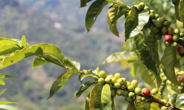 Produtores devem redobrar cuidados para a colheita do café