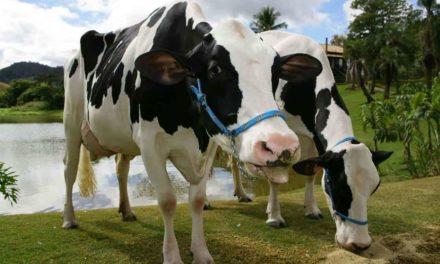Por quê utilizar aromas em rações comerciais para bovinos leiteiros?