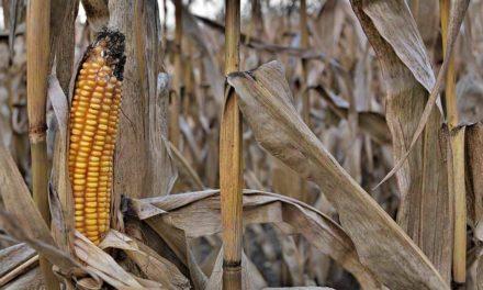 Clima prejudicou potencial produtivo do milho na Região Sul