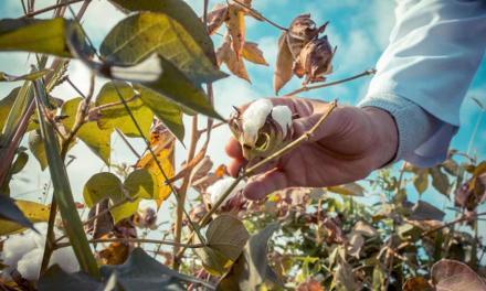 Área de algodão na Bahia teve um incremento de 3,6%
