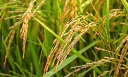 Mapa publica zoneamento do arroz e do algodão