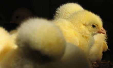 Produção avícola conta com tecnologia como alternativa aos antibióticos melhoradores de desempenho