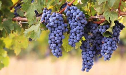 Belgo Bekaert contribui com produtividade da uva na Serra Gaúcha