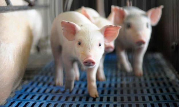 Micotoxinas também são responsáveis por danos ao sistema reprodutivo dos suínos