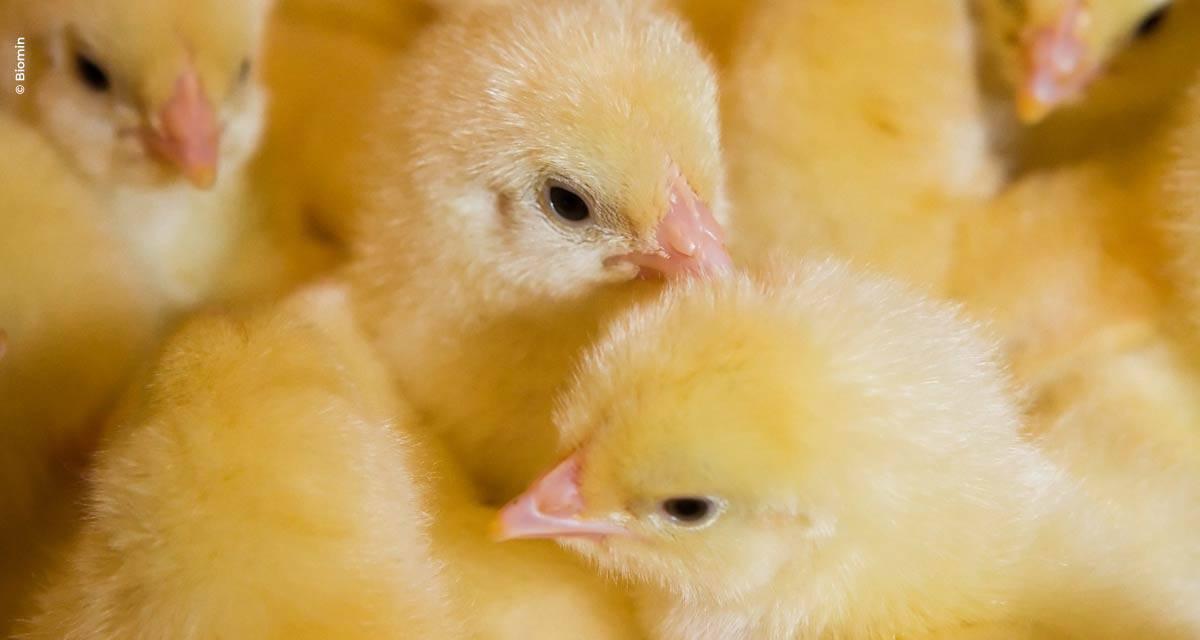 Desempenho ao longo da vida das aves é ditado pelos cuidados na fase inicial