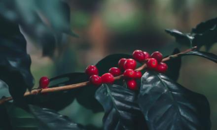Faturamento da lavoura cafeeira de Rondônia atinge 807 milhões
