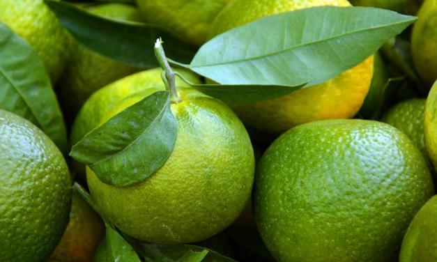 Estado de São Paulo está em plena safra de citros