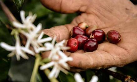 Nespresso desenvolve ações para proteger trabalhadores durante a colheita