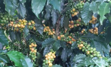 Cafés especiais se beneficiam com novos fertilizantes
