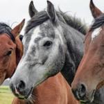 Vermifugação de equinos