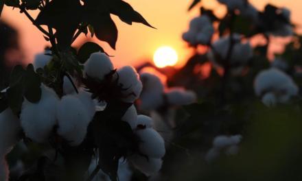 Bahia inicia colheita de algodão da safra 2019/20