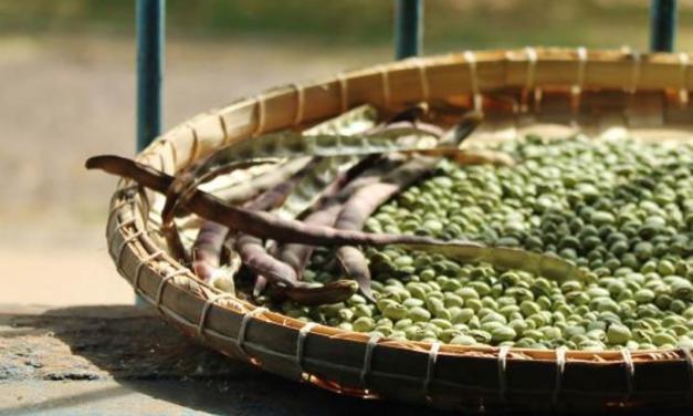 Feijão-caupi é tema de pesquisa no Maranhão