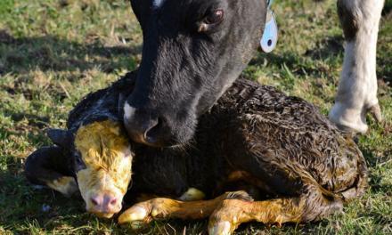 Primeiros partos na idade adequada aumentam a lucratividade da primeira lactação em até 14%
