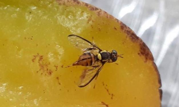 Ações para erradicação da mosca-da-carambola devem ter continuidade