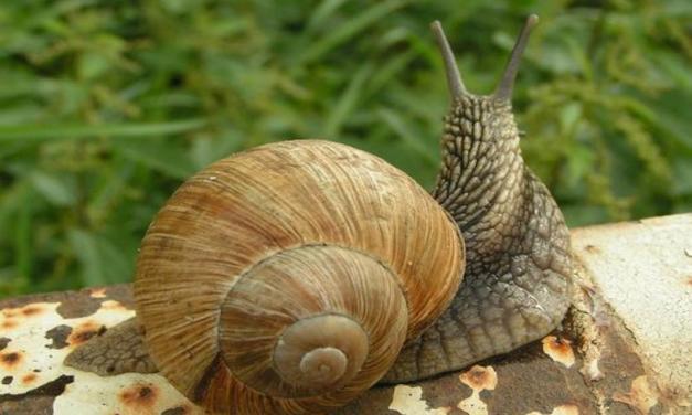 Como evitar a presença de lesmas e caracóis no quintal ou horta