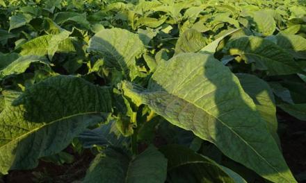 Souza Cruz se prepara para certificar 100% da produção de tabaco