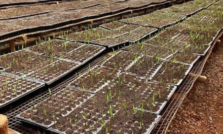 Tereos inicia operação da maior biofábrica de mudas pré-brotadas do setor