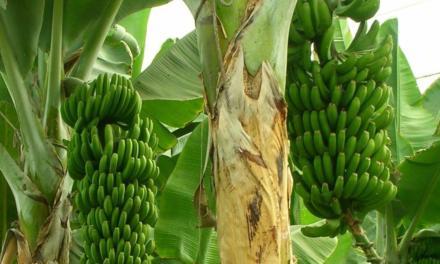 Mapa inclui banana no projeto-piloto do seguro rural
