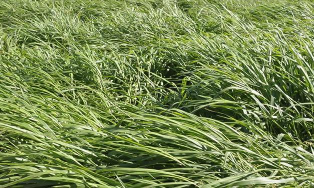 O barato que sai caro: escolha do cultivar forrageiro