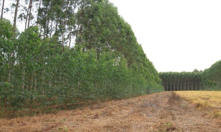 Plantio em forma de onda maximiza a produtividade do eucalipto