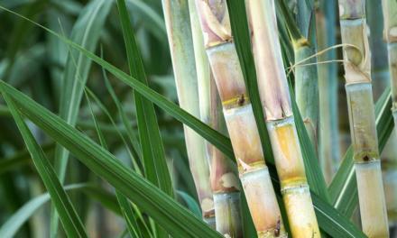 IHARA lança Projeto Satô para gestão das aplicações de maturadores em cana-de-açúcar