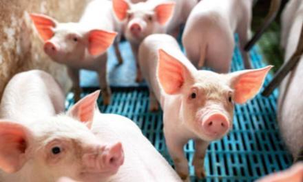 BRF detalha processo de criação de suínos livres do uso de antibióticos promotores de crescimento