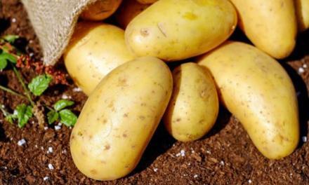 Livro mais atualizado sobre pragas e doenças da batata está disponível para download gratuito
