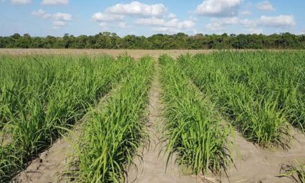 Canavicultor pode antecipar em quatro anos a  adoção de uma nova variedade de cana