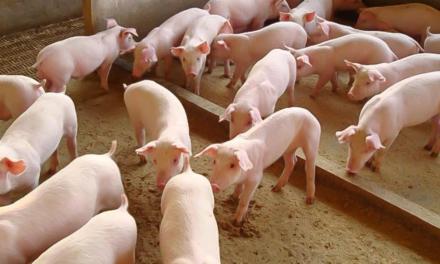 Antimicrobianos devem ser utilizados de forma racional nas granjas