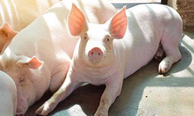 Suplementação de Cobre ajuda no ganho de peso dos suínos na terminação