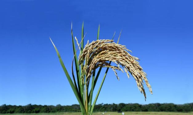 Embrapa lança cultivar de arroz para áreas de sequeiro