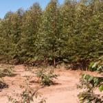 Estudo identifica características de adaptação às mudanças climáticas em eucalipto