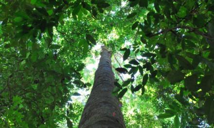 Manejo de florestas tropicais não altera diversidade de espécies arbóreas