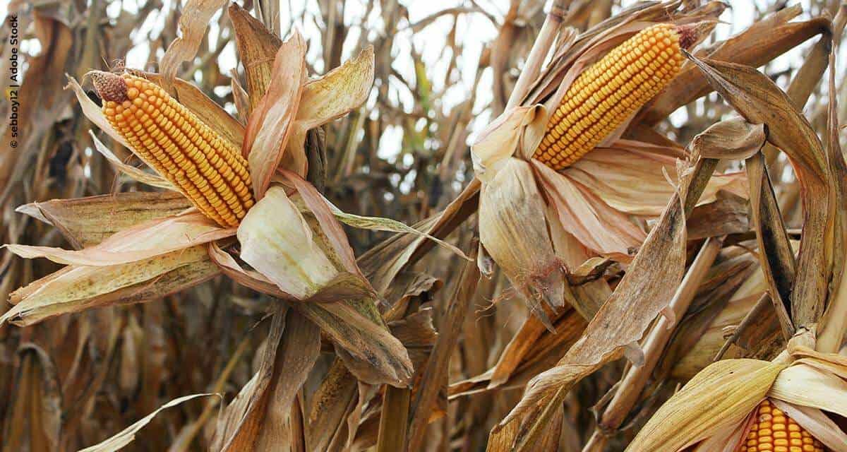 Bayer apresenta novidades em híbridos de milho para que o produtor se prepare para a próxima safrinha