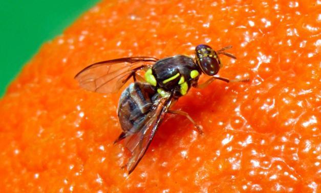 MAPA informa captura de um exemplar de mosca-da-carambola em Boa Vista