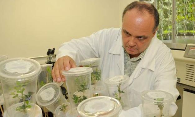 Pastagens: fungo selecionado pelo IB para controle biológico da cigarrinha-das-pastagens é usado em dois milhões de hectares