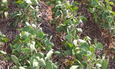 Planejamento fitossanitário é fase importante para o sucesso da lavoura de soja