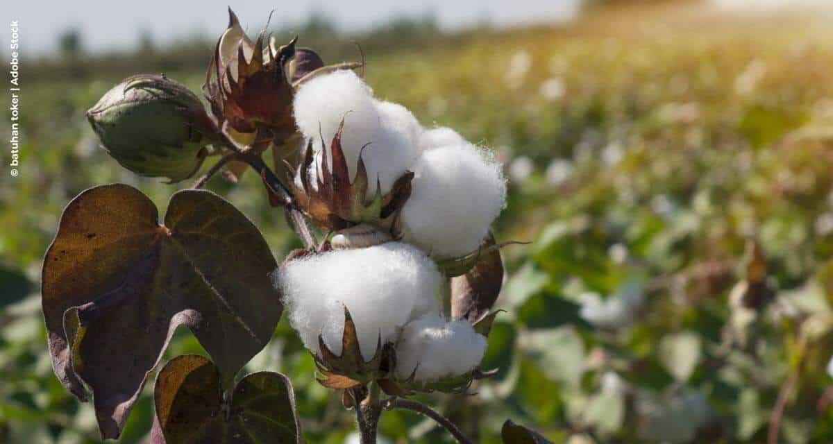 Nutrição do solo e das folhas do algodoeiro  resulta em melhor qualidade de pluma