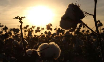 Vazio Sanitário do algodão mobiliza agricultores baianos
