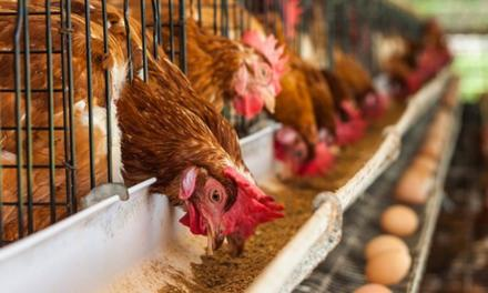 Auster orienta sobre a nutrição adequada para aves, influenciando qualidade e quantidade dos ovos