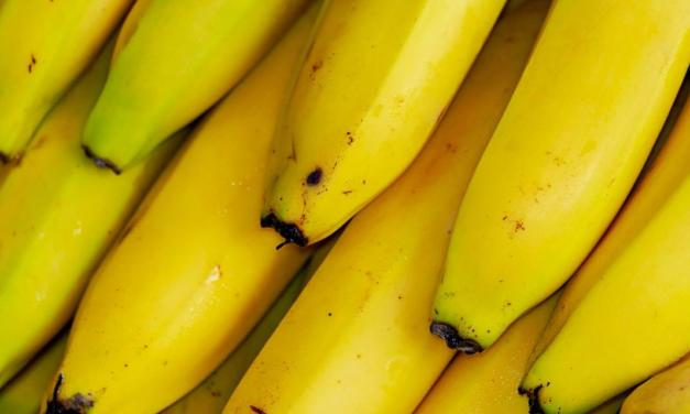 Banana: fungo selecionado pelo IB controla broca-da-banana, principal praga da cultura