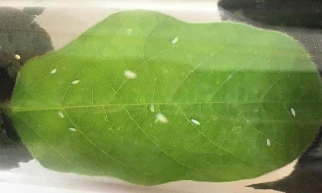 Bioinseticida é nova ferramenta para o controle da mosca-branca