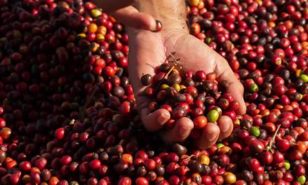 Café bate recorde com produção 39,7% maior que a de 2019, cana e laranja mantêm estabilidade