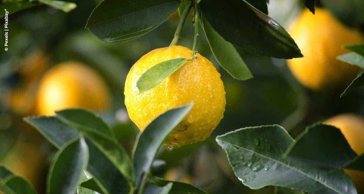 Levantamento do IAC mostra que micronutrientes balanceados beneficiam a produtividade e a qualidade dos citros