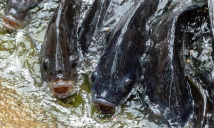 De Heus expande participação no mercado brasileiro de premix de peixe