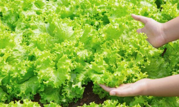 Bioestimulante melhora desenvolvimento de hortaliças